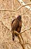 Le Vulture, painted