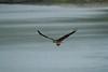 _MG_8086 osprey w fish  © bob wilson 2010