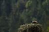 _MG_7991 osprey nest 2 © bob wilson 2010