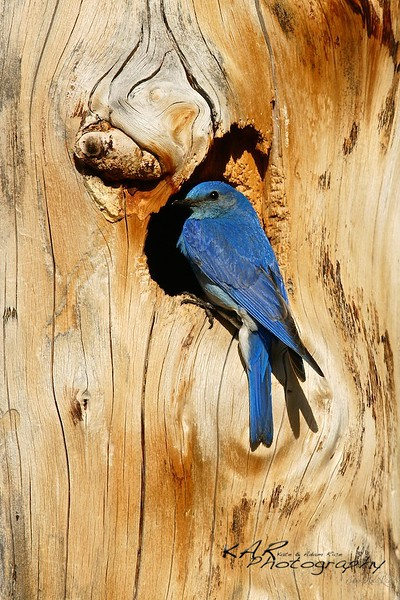 """Old Blue""<br /> Mountain Blue Bird uses an old burnt tree for a nesting site in Yellowstone National Park."