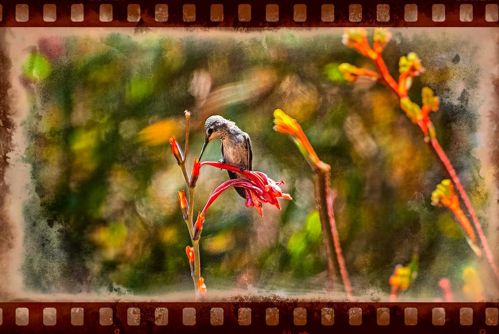 Hummingbird in Watsonia v2
