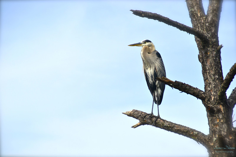 "Great Blue Heron ""Ciconiformes ardeidae"""
