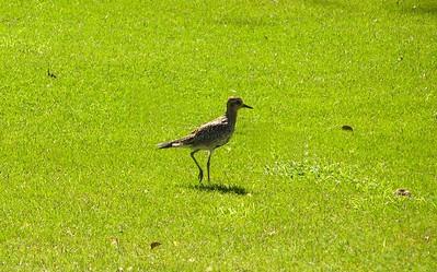 Pacific Golden Plover, Poipu, Hyatt Resort, Kaua'i, HI,  aug 21, 2005