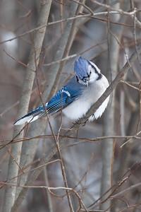 #1558 Blue Jay