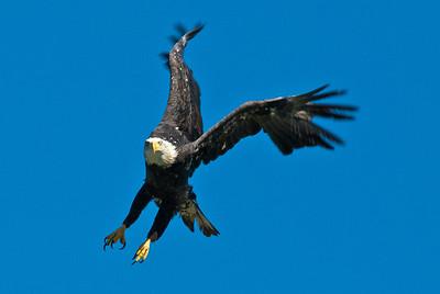 Bald Eagle, Clear Lake