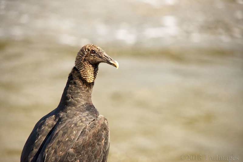 Aug 22<br /> Don't hate me because I'm beautiful!<br /> <br /> During one of our visits to our favorite lake, a vulture landed nearby to check out the scenery.<br /> <br /> Thanks for the wonderful comments on my 'foxtails' yesterday!!