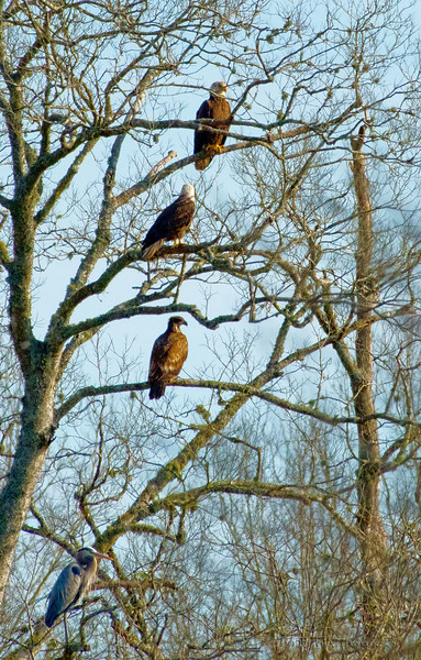 3 Eagles and a Heron