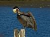 Brown Pelican, <em>Pelecanus occidentalis</em>, acting silly. ( I ) San Leandro Bay, Oakland, Alameda Co., CA 1/16/2012