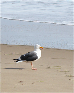 Gull at Gaviota Beach, CA.