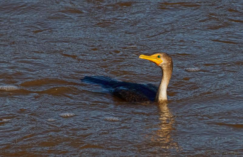 Profile of the Cormorant