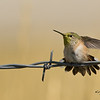 """Bird on a Wire""<br /> Calliope Hummingbird with a face covered in pollen."