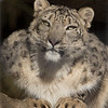 Snow Leopard at LP Zoo