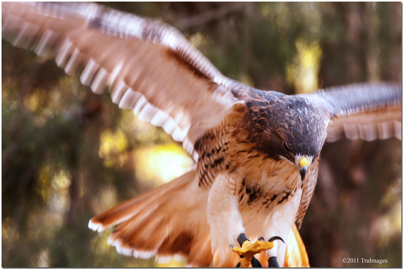 Oct 30<br /> Red tail Hawk