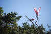 Roseate Spoonbills, love the spoon bill!