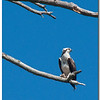 Mar 12<br /> The Osprey (Pandion haliaetus)