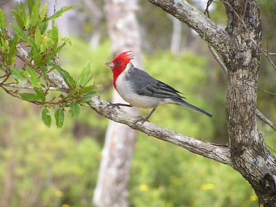 Red-crested Cardinal, Kalalau Lookout, Koke'e Park, Kaua'i, HI,  aug 27, 2005