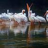 Pelican Opera