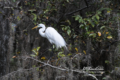 Great White Egret_164