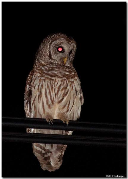 Apr 20<br /> Urban Barred Owl