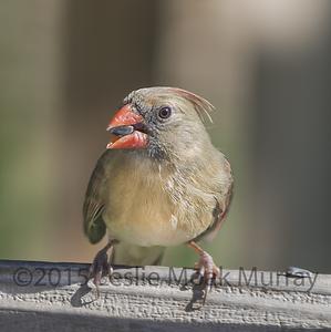 Cardinal-Female-0487b