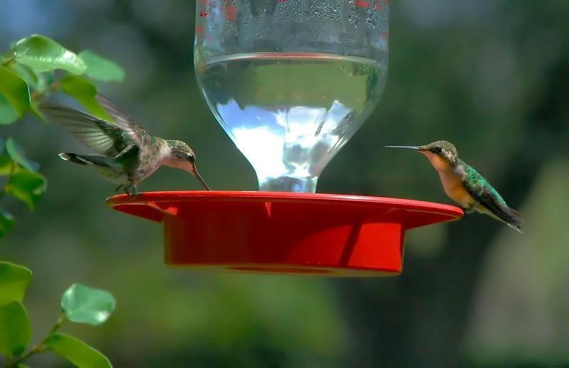 Juvenile Blackchinned Hummingbirds, female
