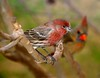 House Finch D80 60 BIRDS 052 F
