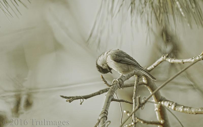 The Chickadee