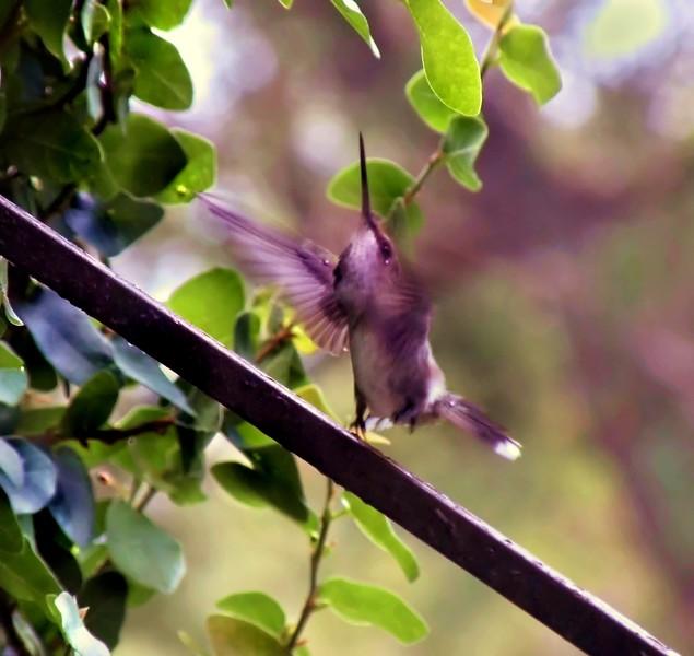 black-chinned_hummingbird_imm_male