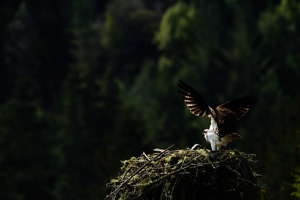 _MG_7973 osprey nest 2 © bob wilson 2010