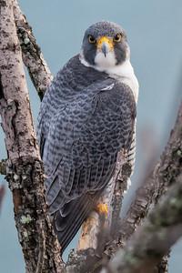#698 Eyes of a Peregrine Falcon