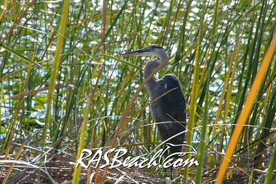 Great Blue Heron_0125