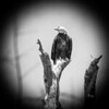 Cape San Blas Bald Eagle_1
