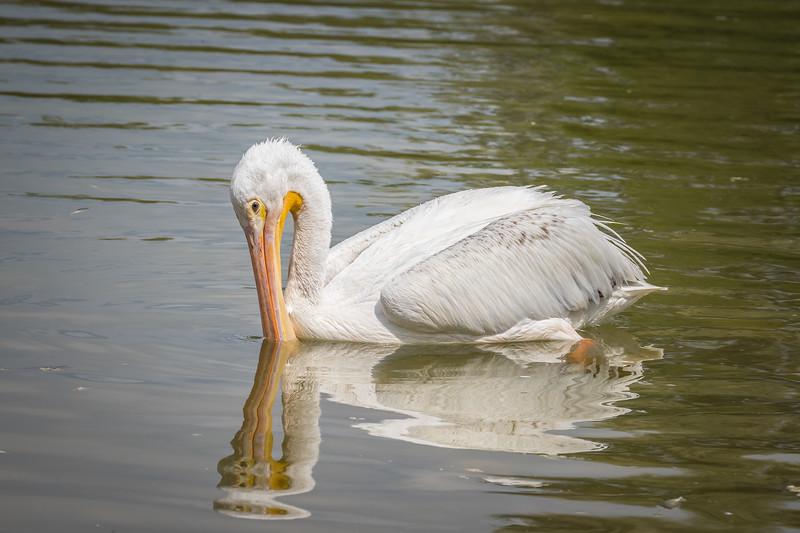 Beak Dipping