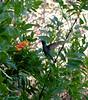 Broadbilled Hummingbird,  Boyce Thompson Arboretum, Superior, AZ  nov 21, 2006 073