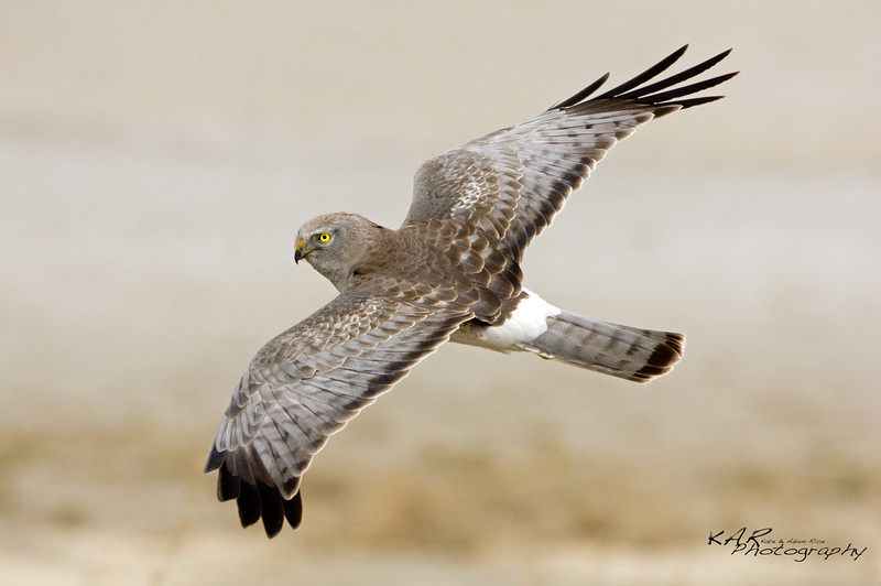 """Catching Wind""<br /> Male Northern Harrier uses updrafts to float along the ground, searching for food to feed his young. Antelope Island, UT."