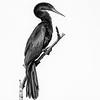 Audubon pose