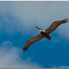Nov 27<br /> A pelican soars effortlessly at Wrightsville beach NC