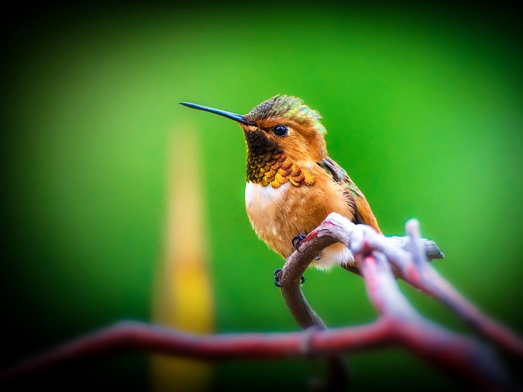 Hummingbird on Green