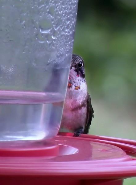 RUBYTHROATED HUMMINGBIRD juvenile male