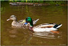 May 8<br /> A  mallard couple