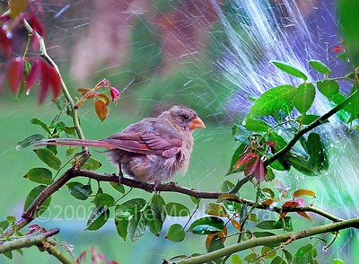 CARDINAL-juv-female-086-cr
