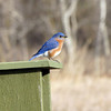 Bluebird on his nestng box