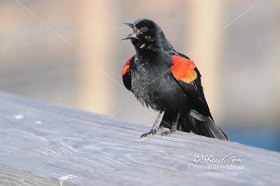 Redwing Blackbird_295