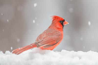 #536 Northern Cardinal