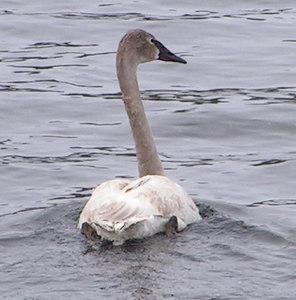 Trumpeter Swan, Moody bridge, Tupper Lake, NY, march 21, 2006 1