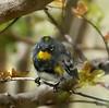 Audubon's Warbler