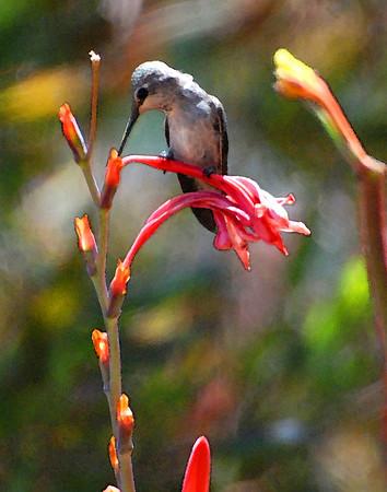 Hummingbird on Watsonia