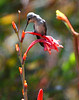 Hummingbird on Watsonia
