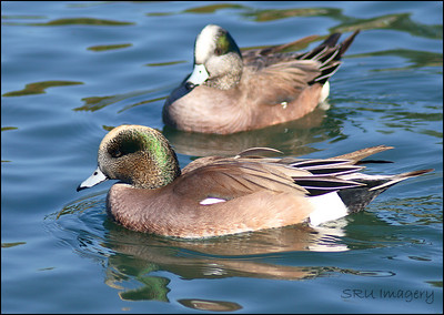 Amrican Wigeon's