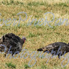 Wild Turkey's across from the Wood River Ranch, near Meeteetse, WY. -c- 2015